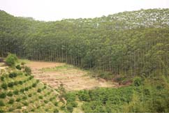 Fast-growing and high-yielding forest