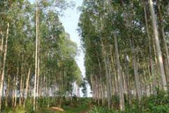 Afforestation Conducted by Leizhou Forest Bureau in Guangdong Province